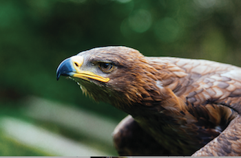 Coda Falconry Bird of Prey Experiences Essex - Forth Image