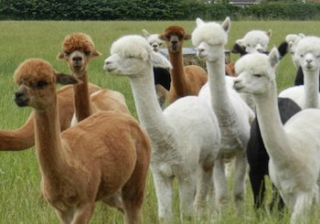 Charnwood Forest Alpacas Animal Experiences - Second Image
