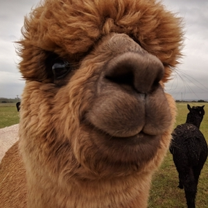 Charnwood Forest Alpacas Animal Experiences - Third Image