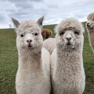 Charnwood Forest Alpacas Animal Experiences - Forth Image